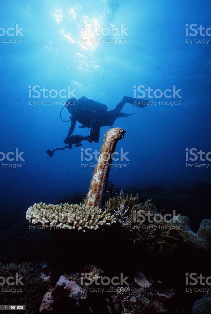 Spawning Sea Cucumber stock photo