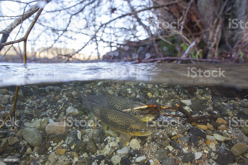 Spawning sea trout (Salmo trutta) in creek royalty-free stock photo