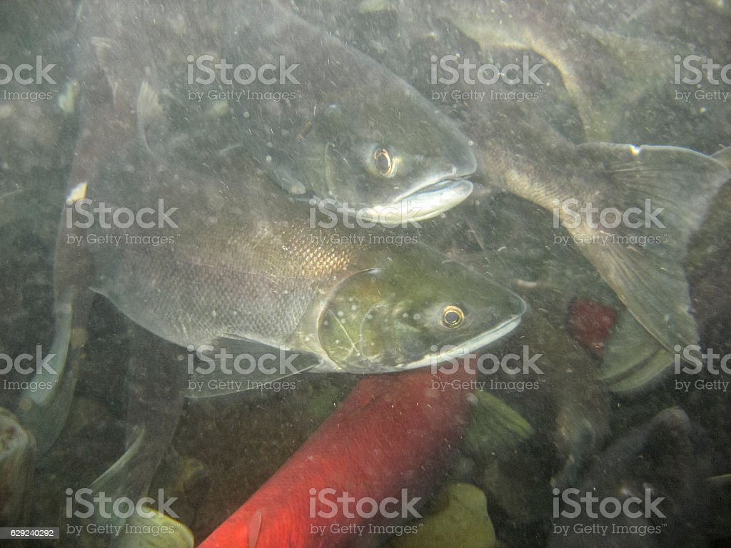 Spawning Sockeye Salmon in the Russian River, Alaska stock photo
