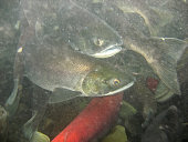 Spawning Sockeye Salmon in the Russian River, Alaska