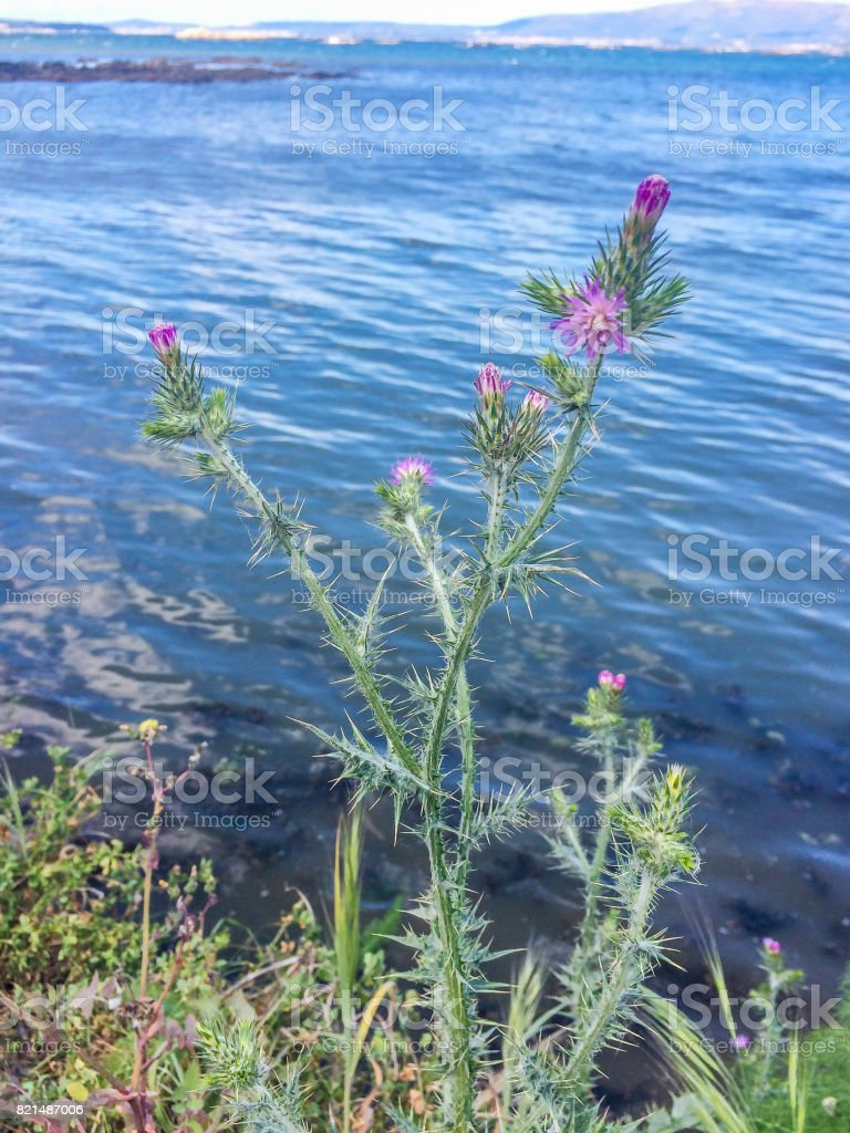 Spear, bull or common thistle stock photo