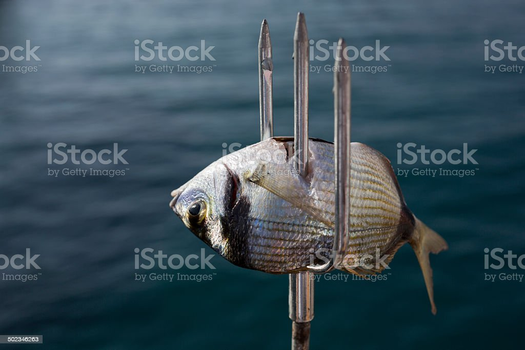 Spear Fishing stock photo