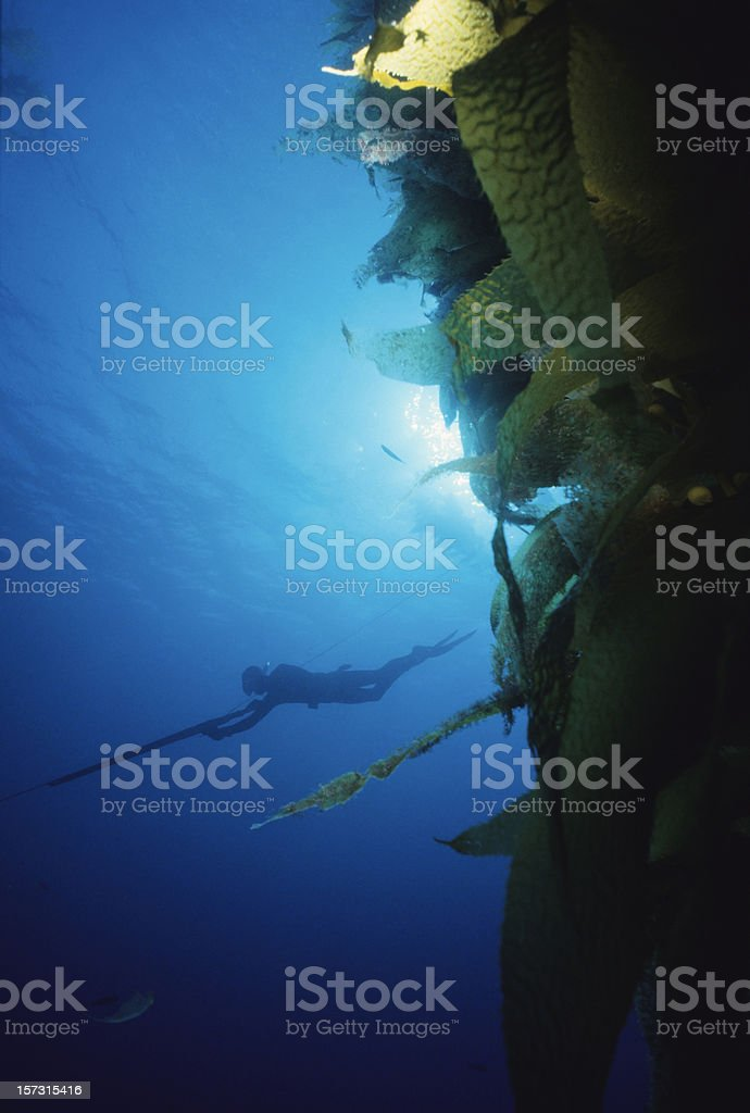 Spearfisherman In Kelp Forest stock photo