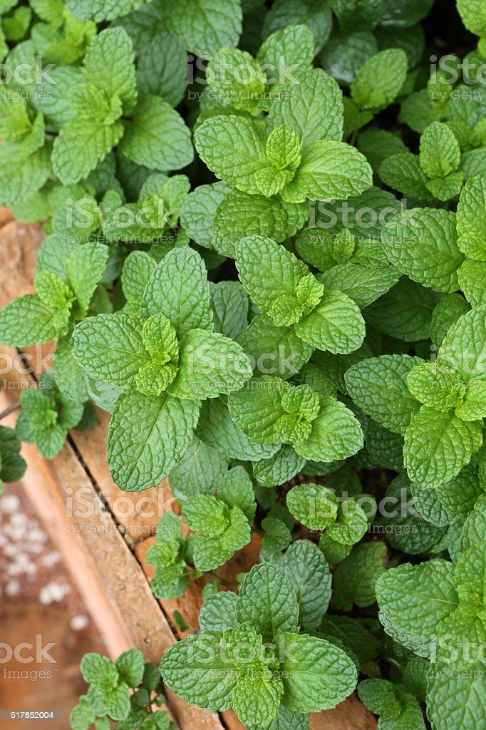 Spearmint - Labiatae - Mentha Spicata L stock photo
