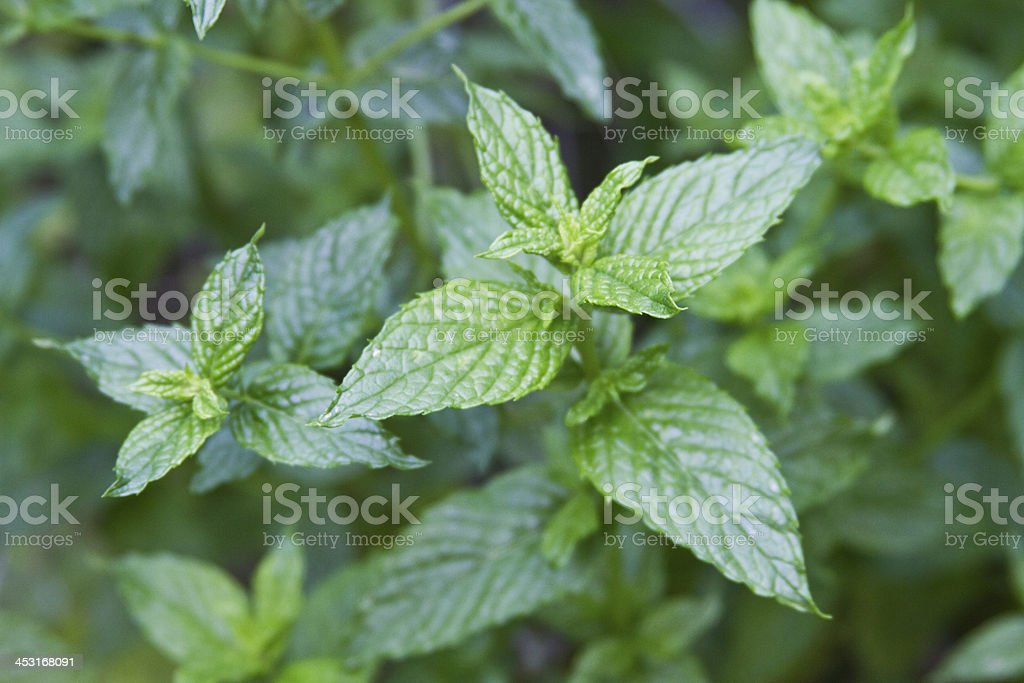 Spearmint Leaves royalty-free stock photo