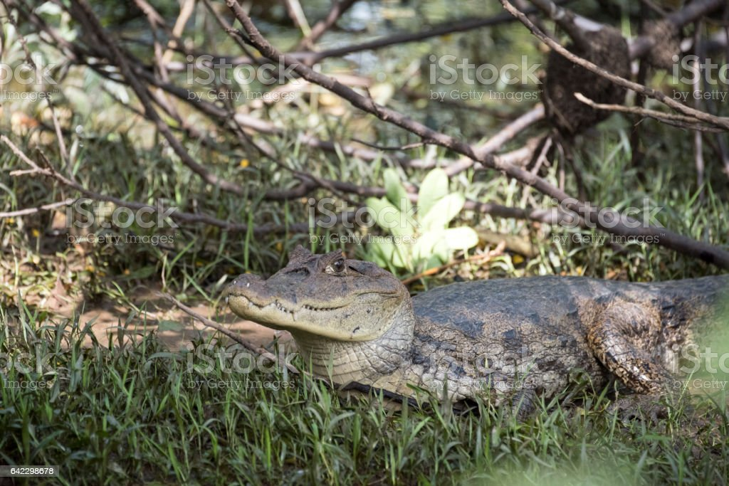 Specatcled caiman stock photo