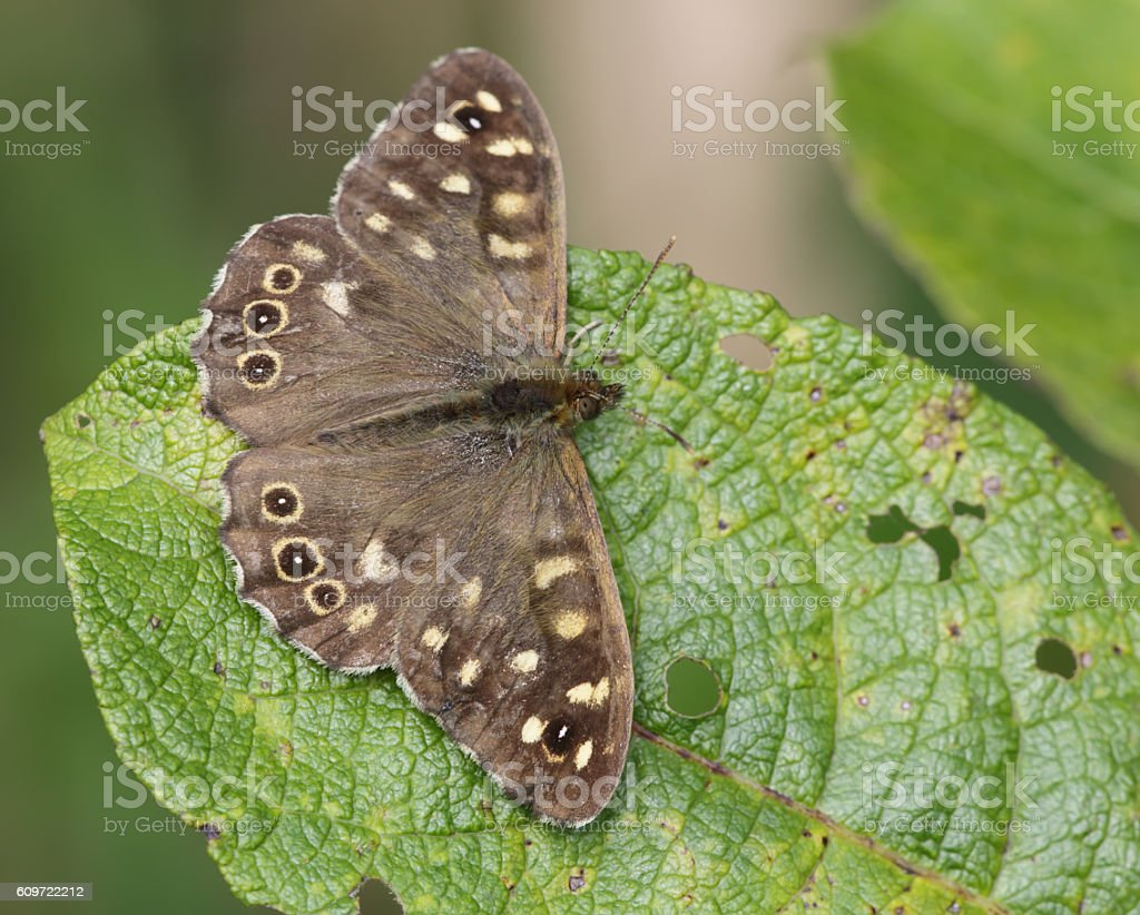 Speckeled Wood Butterfly (Pararge aegeria) stock photo
