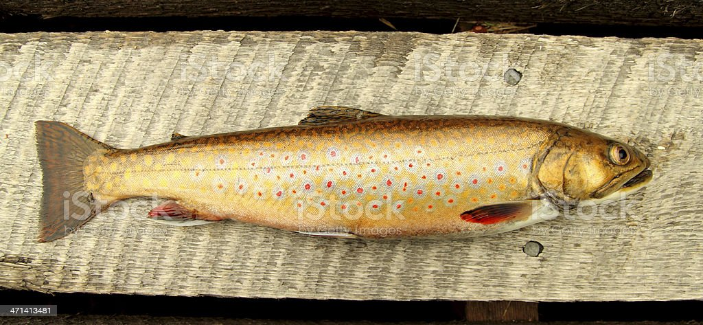 speckle trout stock photo