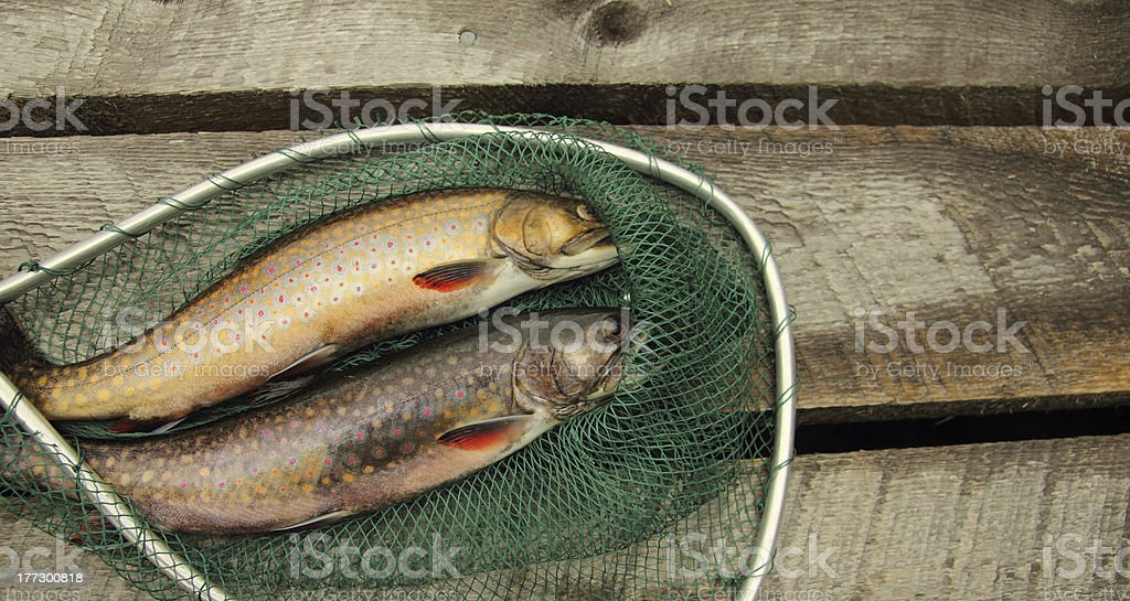 speckle trouts royalty-free stock photo