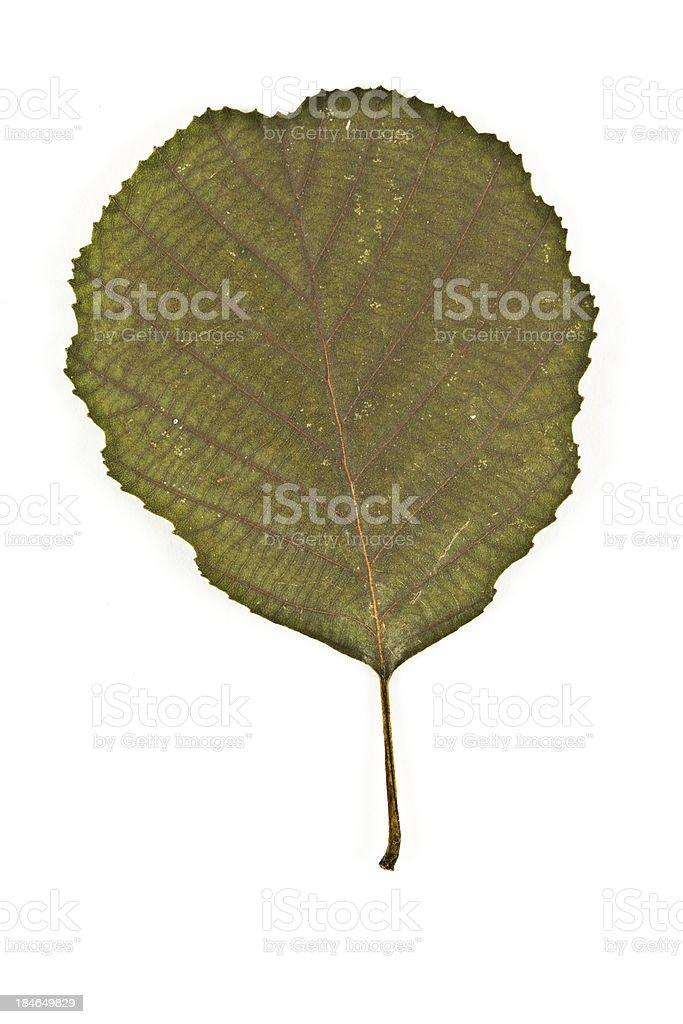 Speckled Alder Leaf stock photo