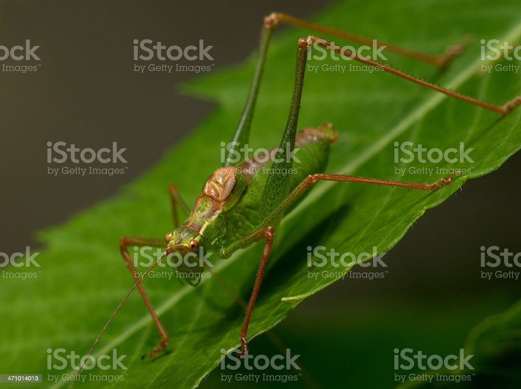 Speckled Bush Cricket royalty-free stock photo