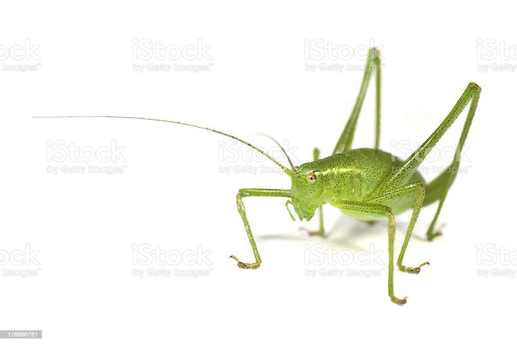 Speckled Bush-Cricket royalty-free stock photo