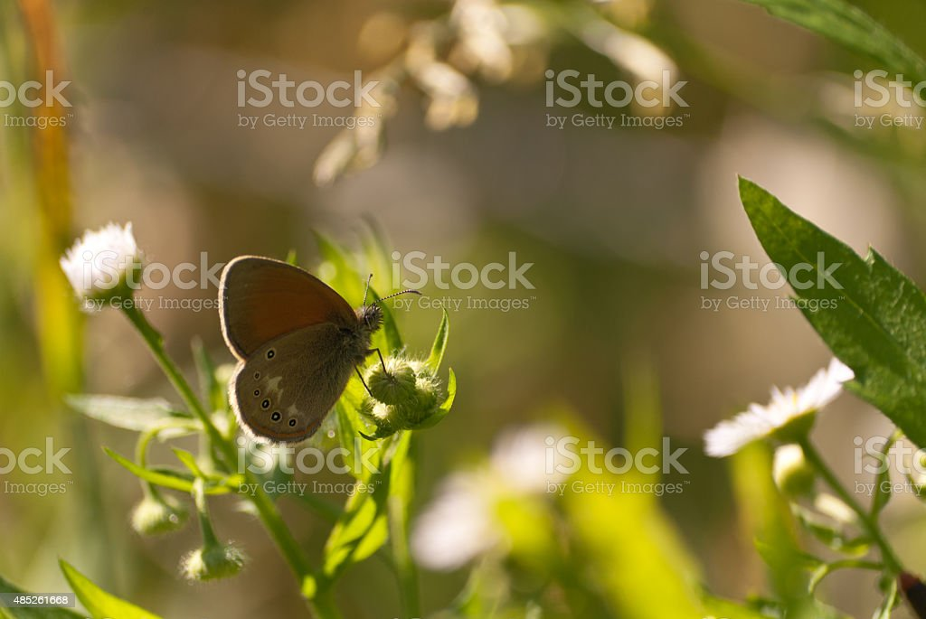 Speckled butterfly stock photo