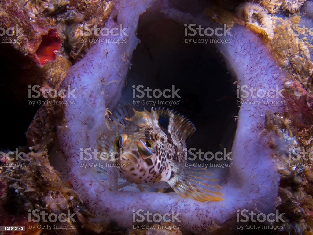 Speckled Klipfish sitting on the reef stock photo