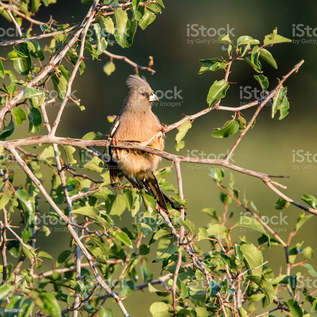Speckled Mousebird stock photo