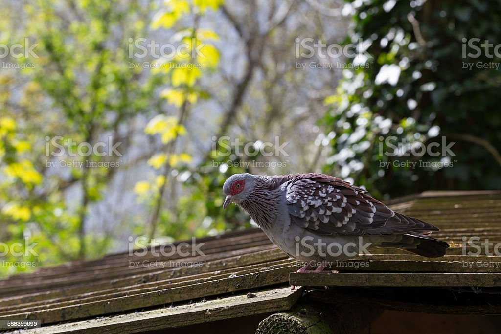 Speckled Pigeon stock photo