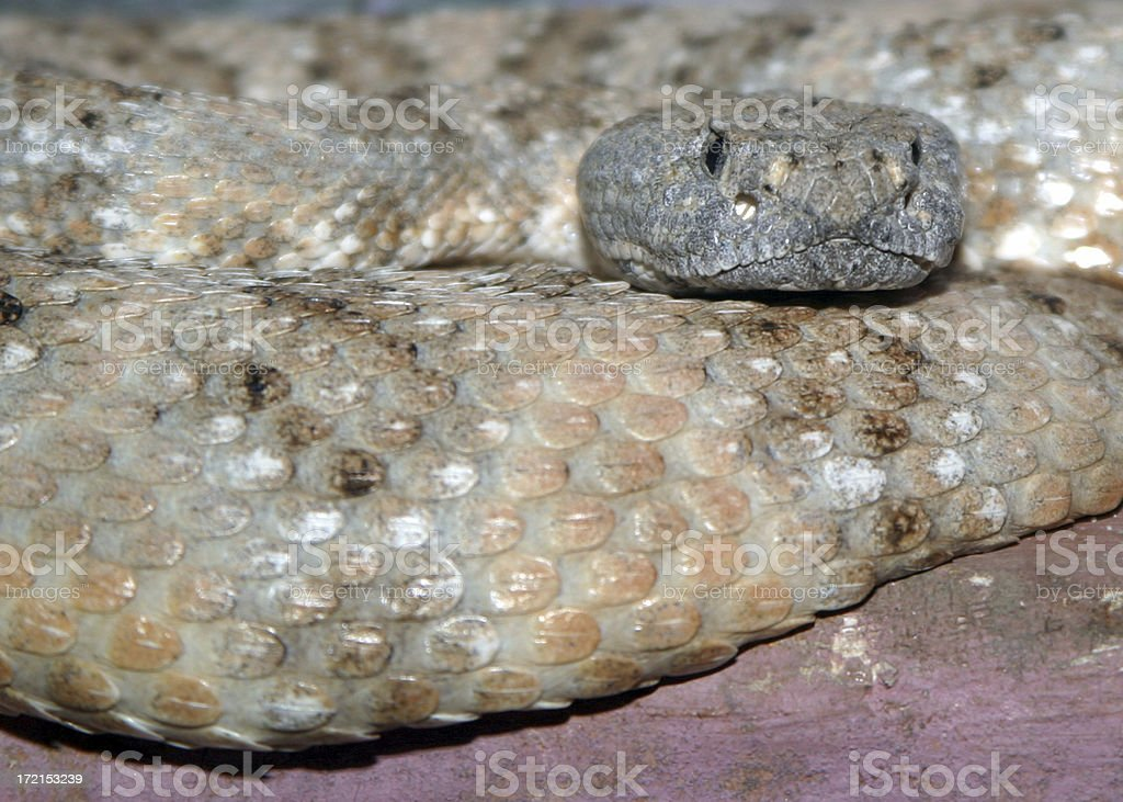Speckled Rattlesnake stock photo