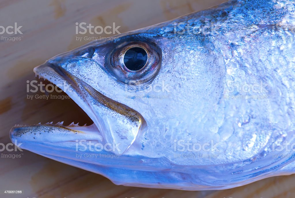 Speckled Silver Sea Trout fish face closeup stock photo