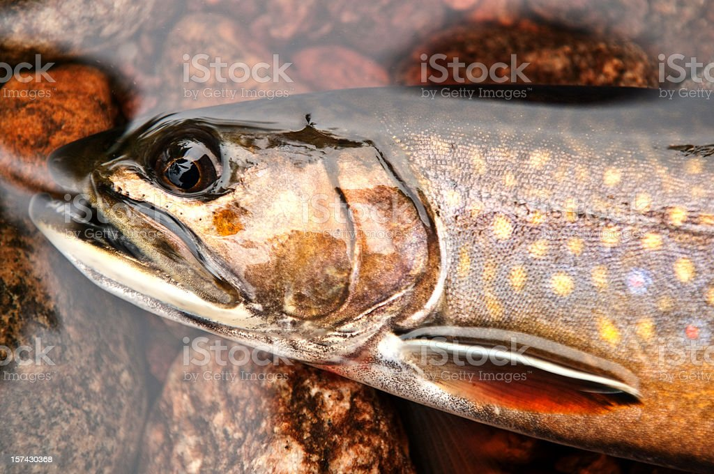 Speckled Trout stock photo