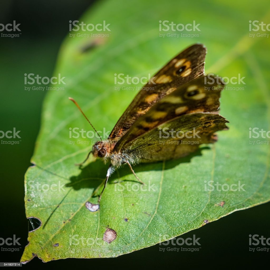 Speckled wood brown butterfly stock photo