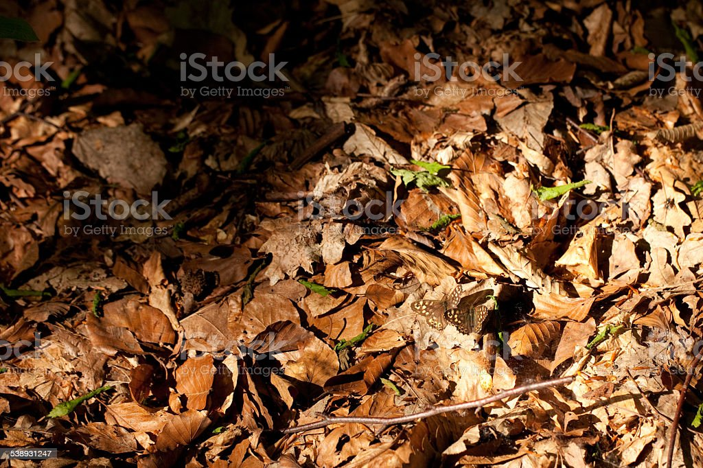 Speckled Wood Butterflies stock photo