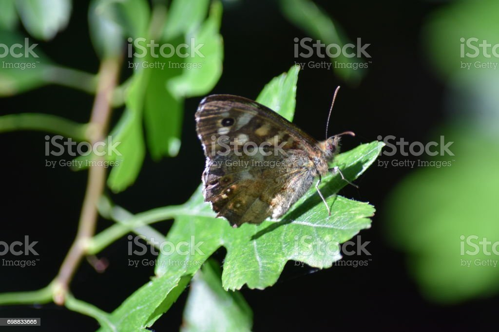 Speckled wood butterfly, hawthorn leaf stock photo