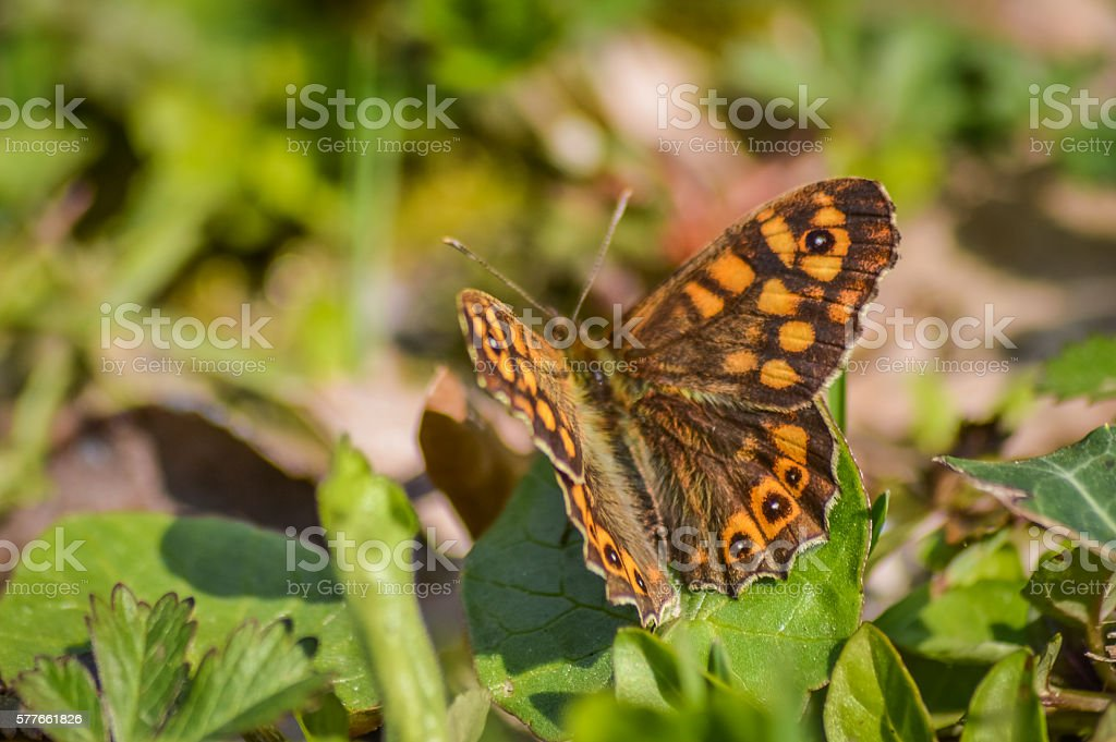 Speckled wood butterfly (Pararge aegeria) macro stock photo