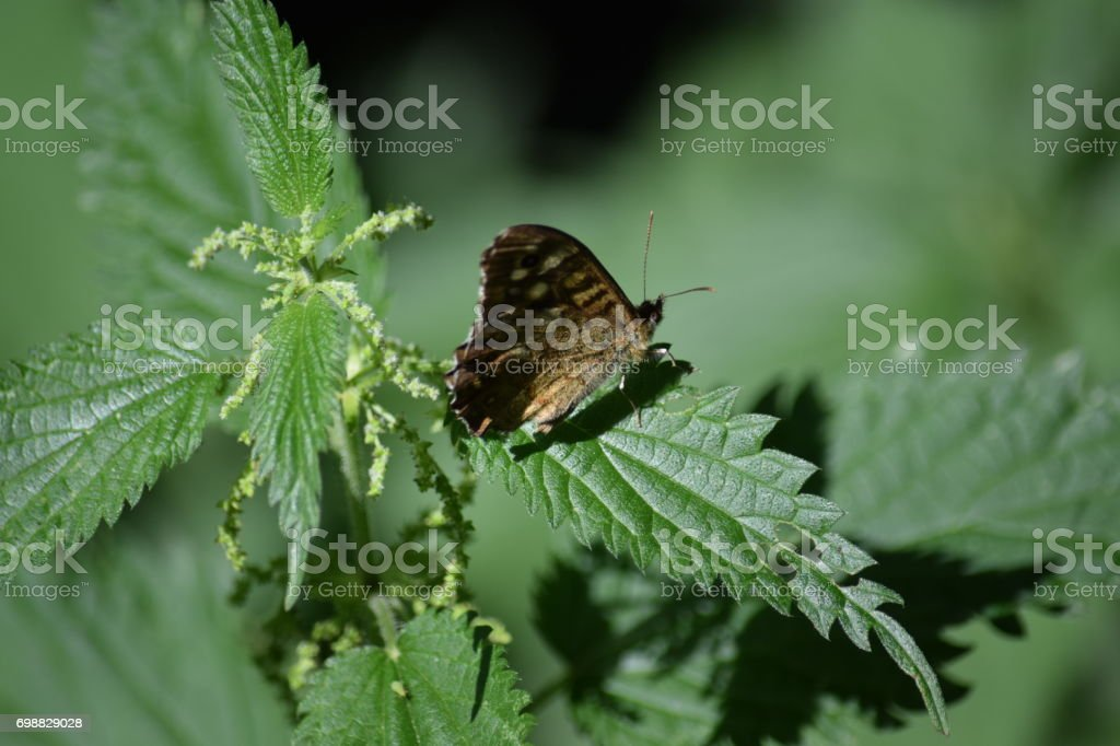 Speckled wood butterfly, nettle leaf stock photo