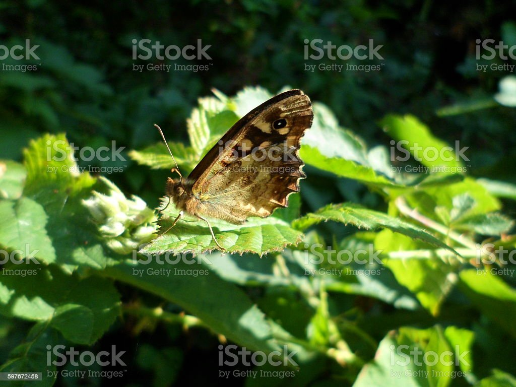 Speckled wood butterfly on a bramble leaf stock photo