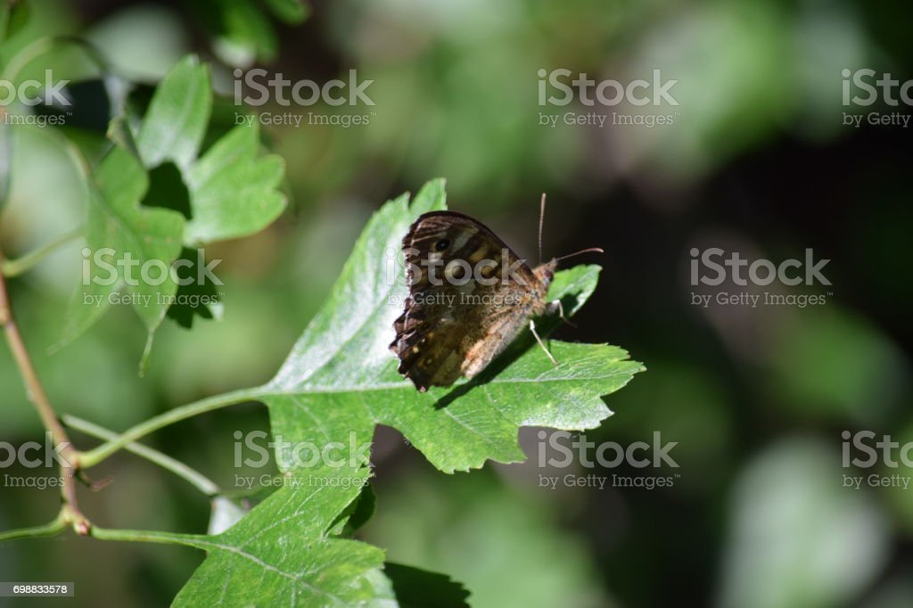 Speckled wood butterfly on a hawthorn leaf stock photo