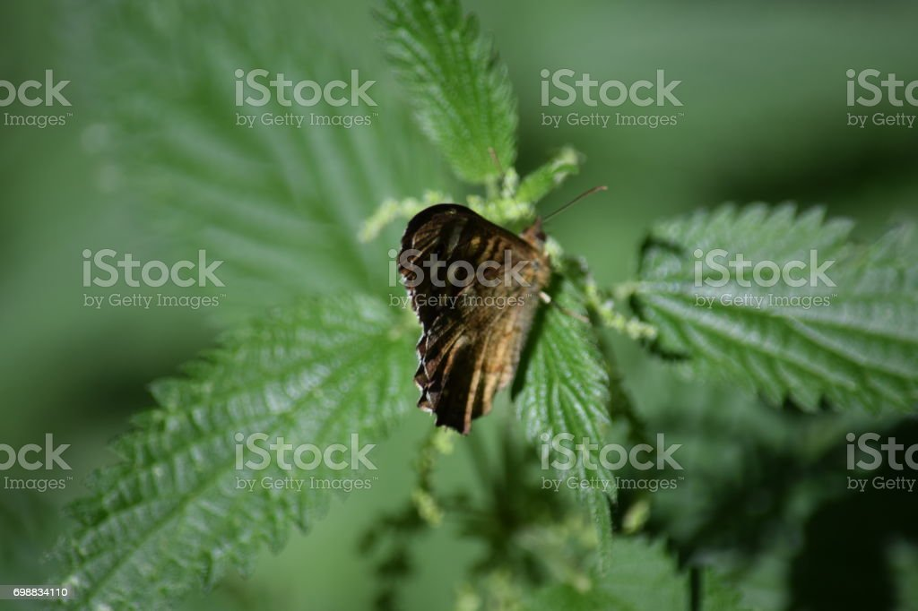 Speckled wood butterfly on a nettle stock photo