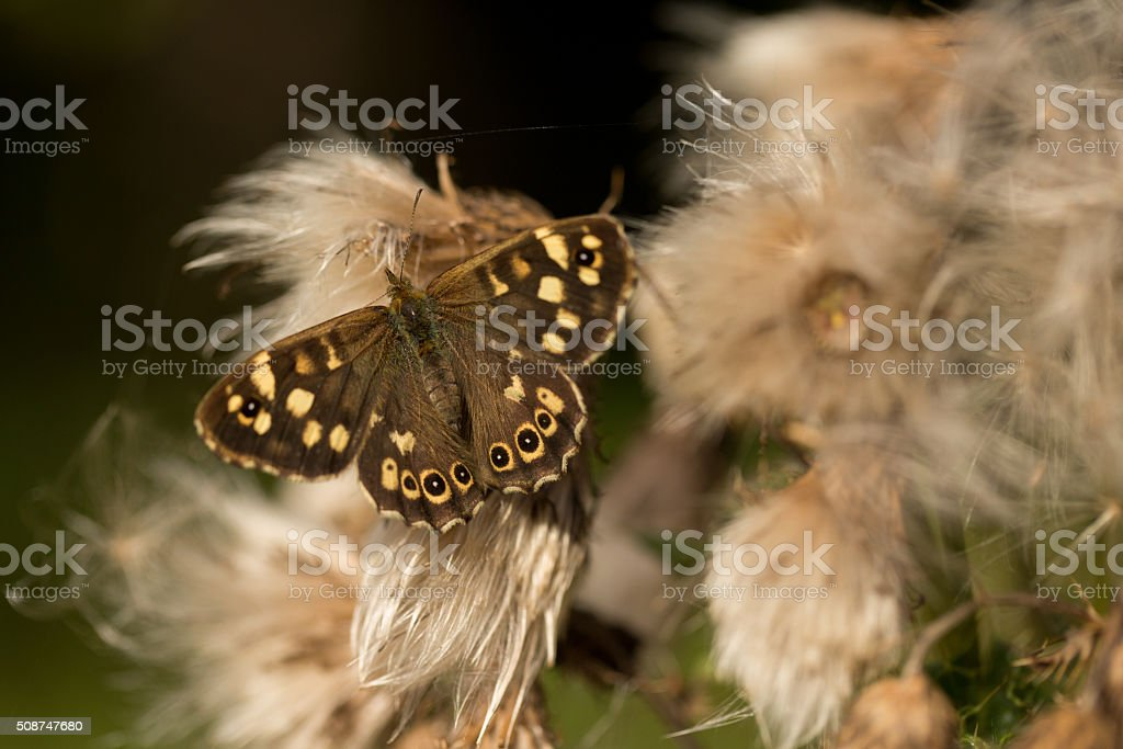 Speckled Wood Butterfly on a thistle head. stock photo