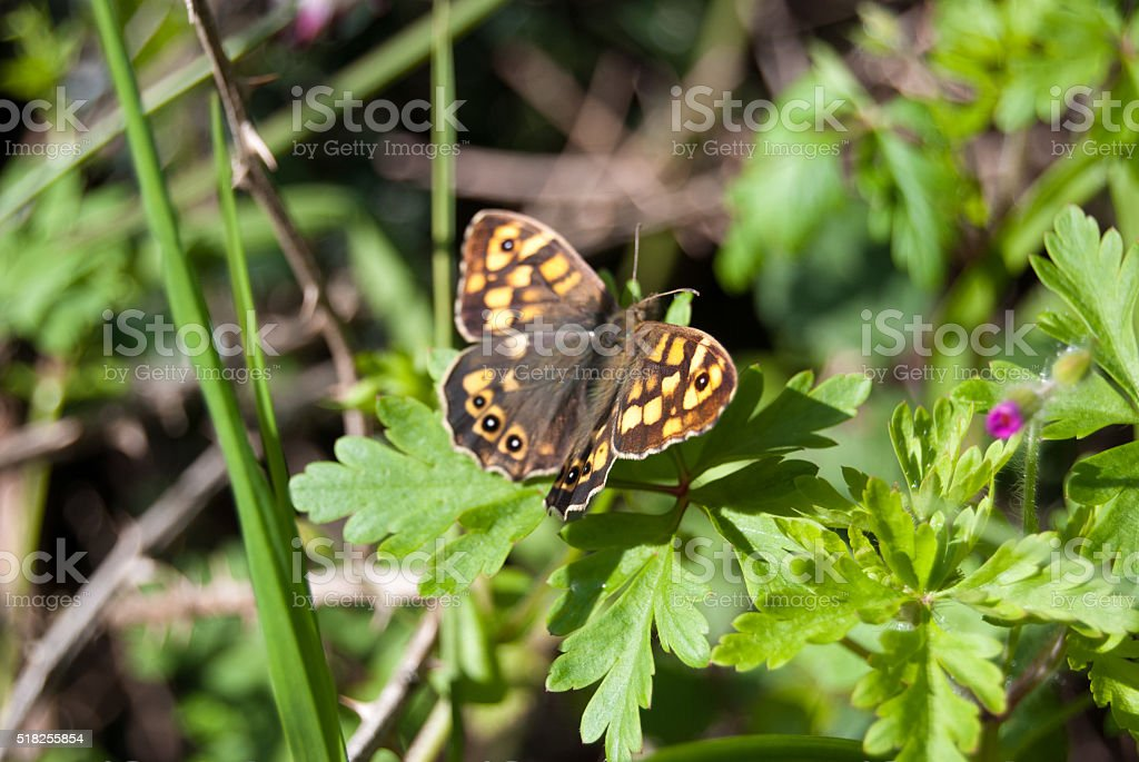 speckled wood butterfly on leaves summer stock photo
