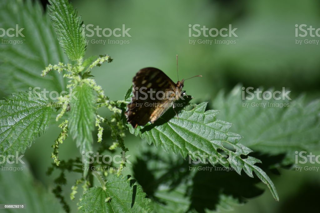 Speckled wood butterfly on nettle leaf stock photo