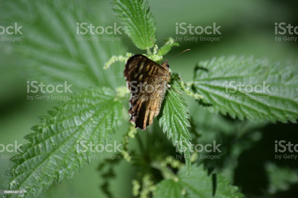 Speckled wood butterfly on nettle plant stock photo