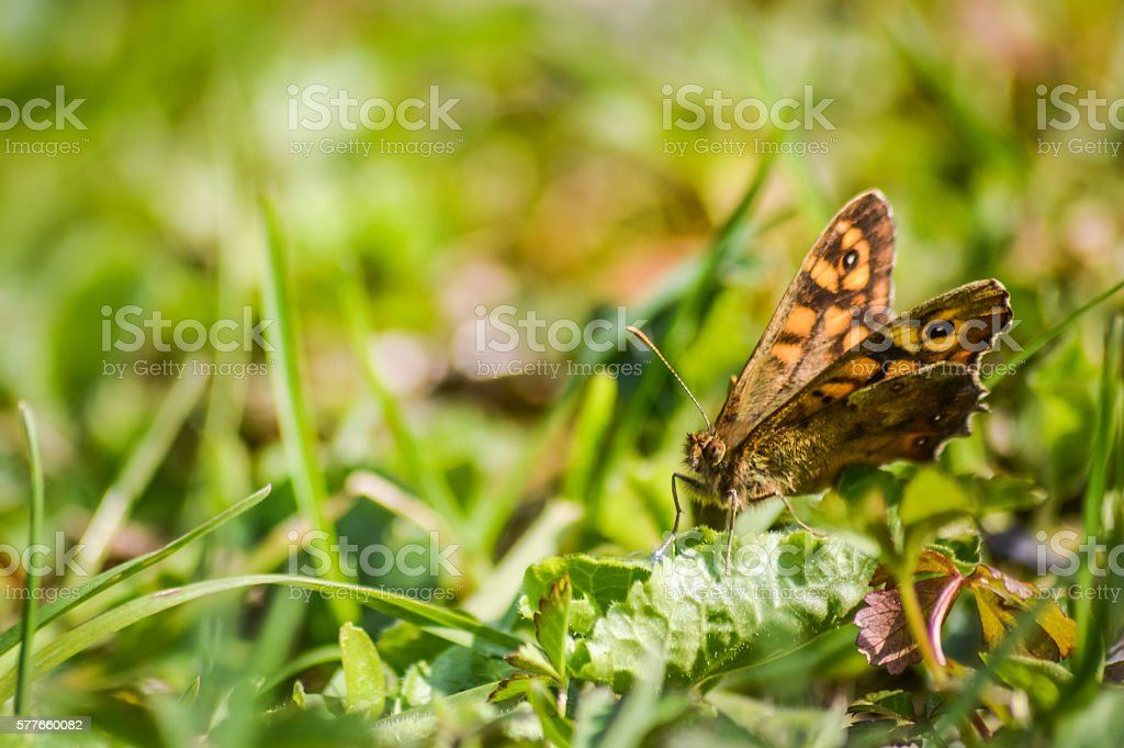 Speckled wood butterfly on the grass stock photo