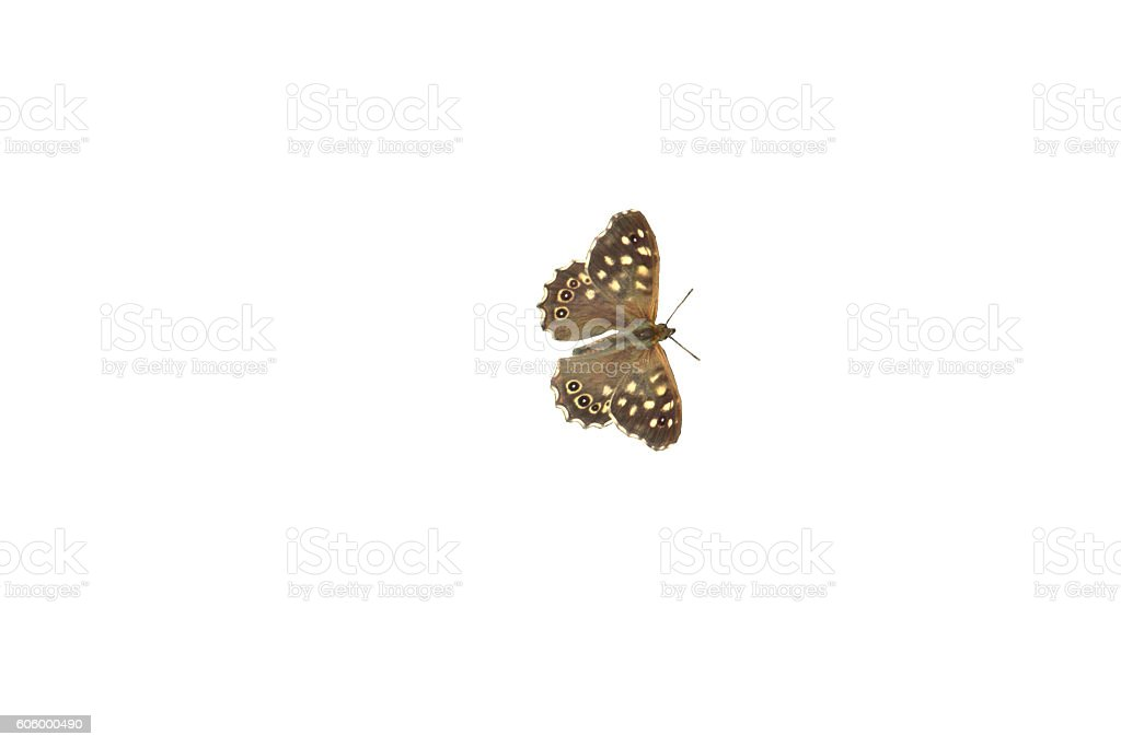Speckled wood butterfly,  Pararge aegeria : isolated on white stock photo
