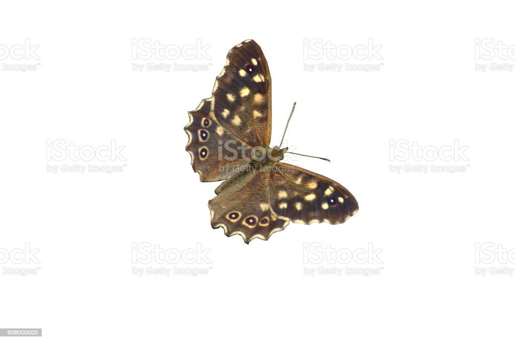 Speckled wood butterfly,  Pararge aegeria : isolated stock photo
