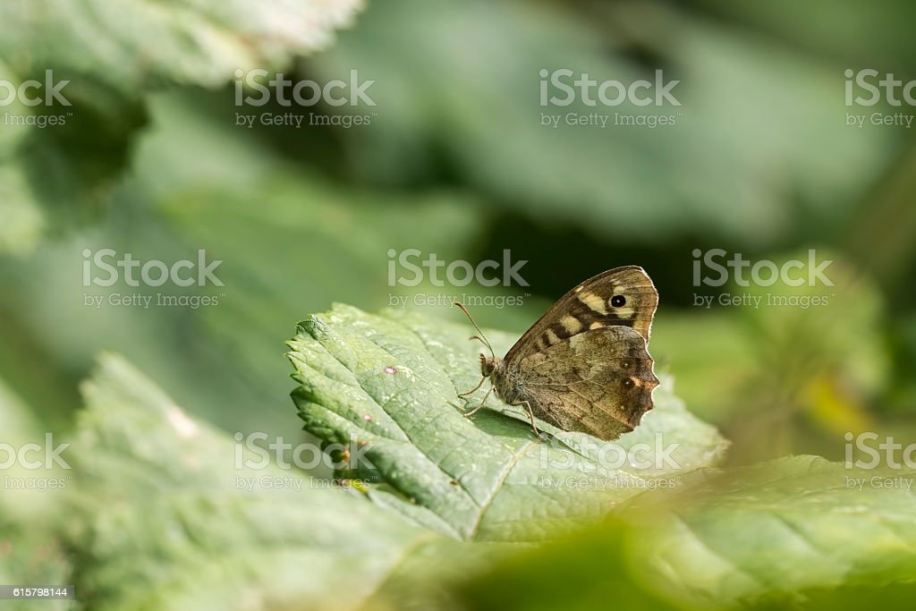 Speckled wood butterfly Pararge aegeria stock photo