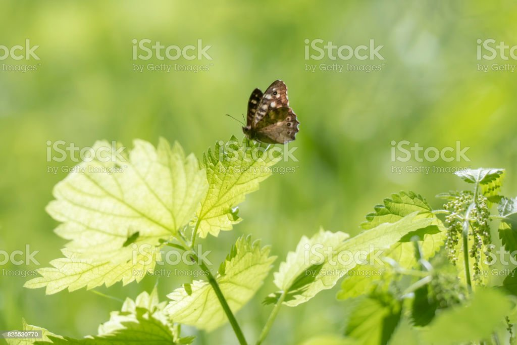 Speckled wood butterfly Pararge aegeria side view stock photo