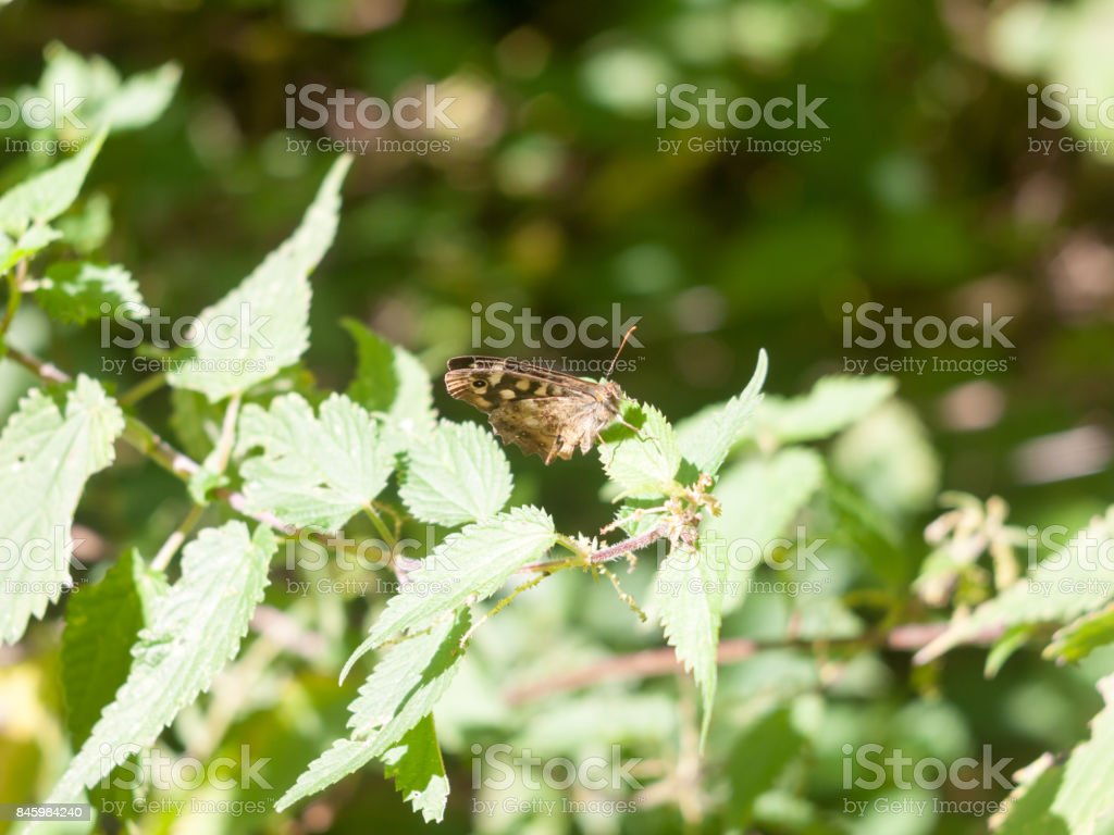 Speckled Wood Butterfly perched on leaf closed wings summer - Pararge aegeria stock photo