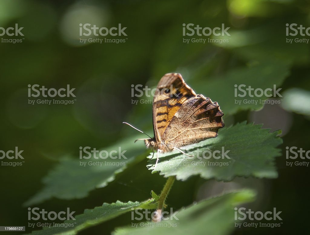 Speckled wood butterfly royalty-free stock photo