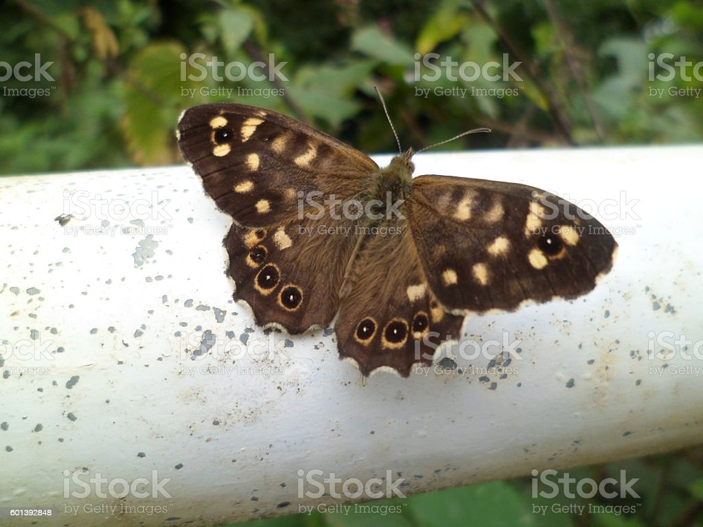 Speckled Wood (Pararge Aegeria) butterfly stock photo