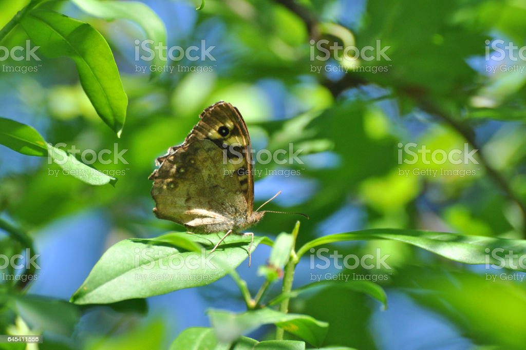 Speckled Wood butterfly, stock photo