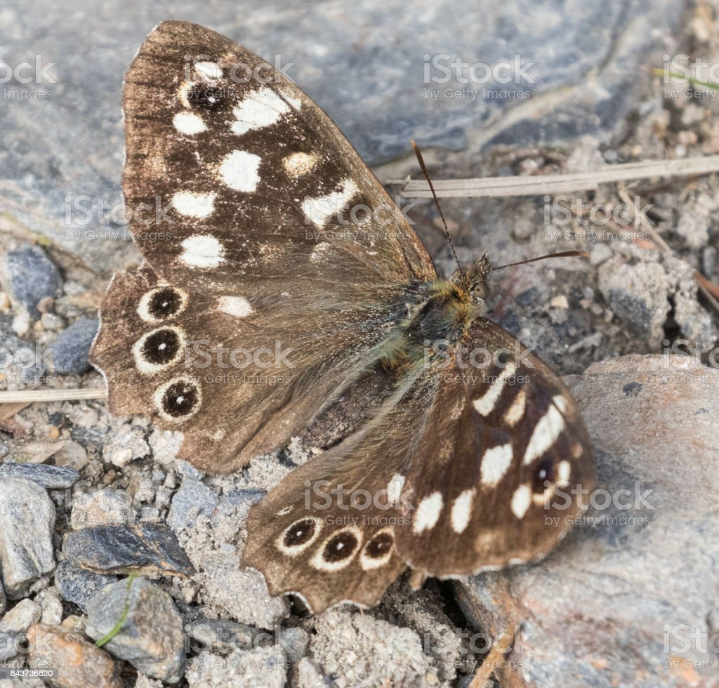 Speckled Wood Butterfly stock photo