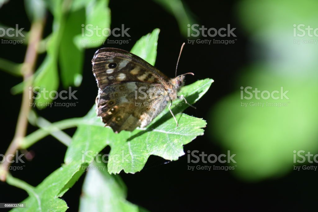 Speckled wood butterfly resting on a hawthorn leaf stock photo