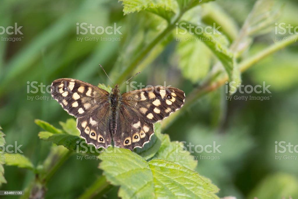 Speckled Wood butterfly settled on bramble plant stock photo