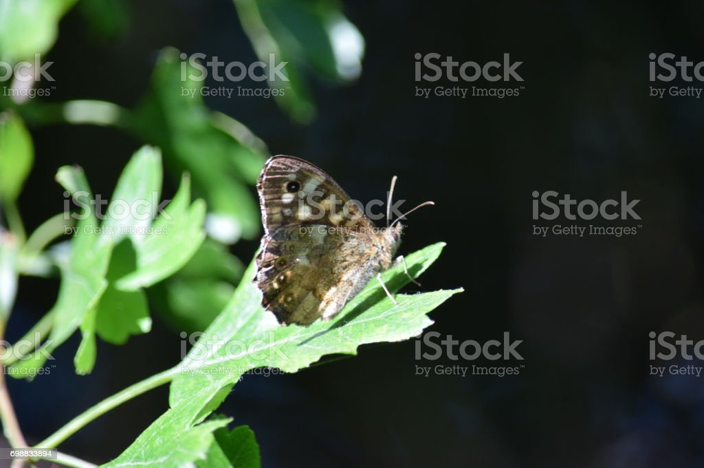 Speckled wood butterfly standing on a hawthorn leaf stock photo