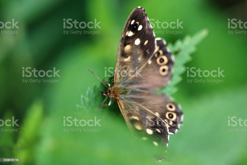 Speckled wood butterfy in natural green background stock photo