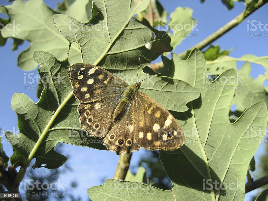 Speckled Wood on oak leaf royalty-free stock photo
